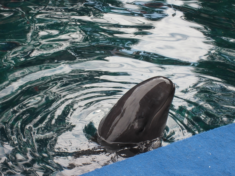 Chester the False Killer Whale